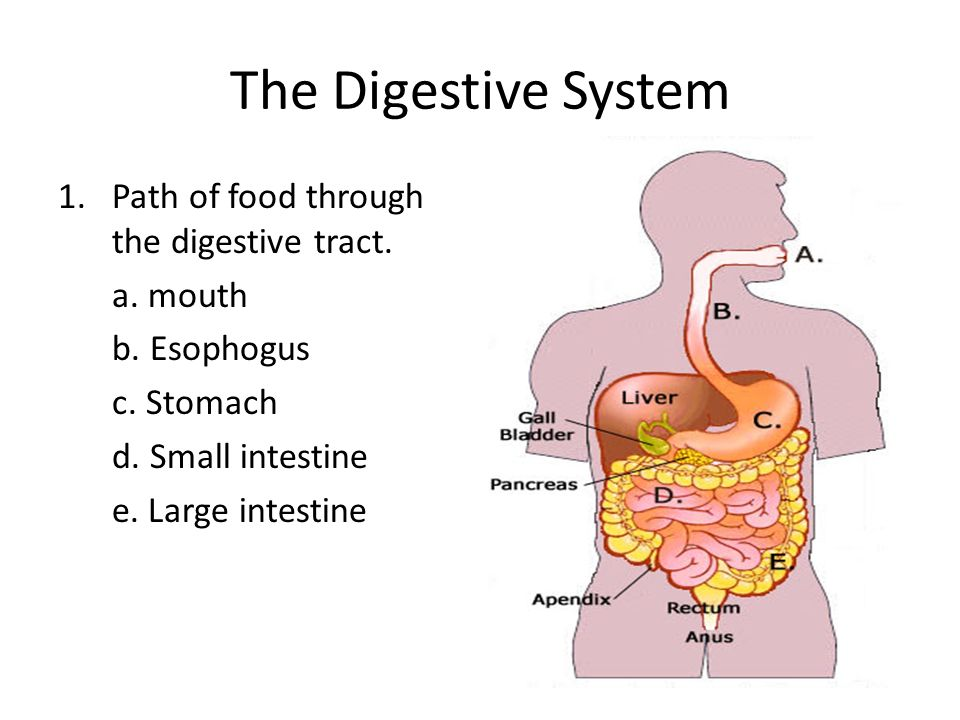 The Digestive And Excretory Systems The Digestive System The