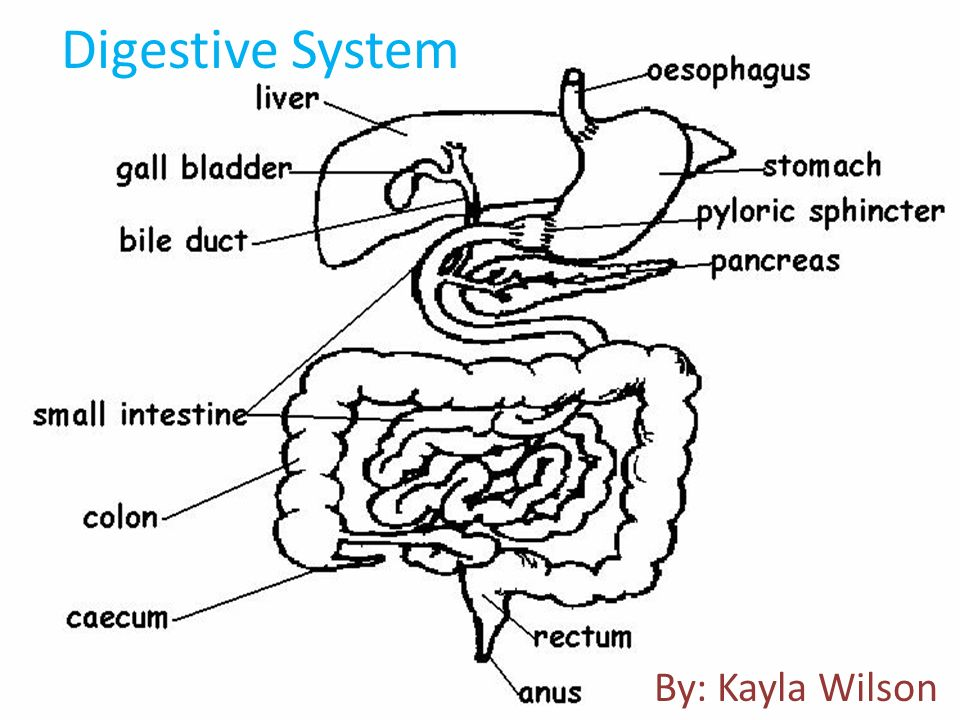 Rat Dissection By Kayla Wilson Digestive System By Kayla Wilson
