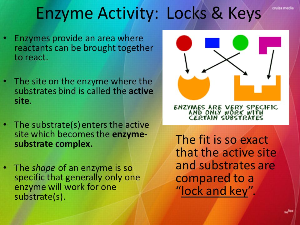 Enzyme Activity: Locks & Keys Enzymes provide an area where reactants can be brought together to react.