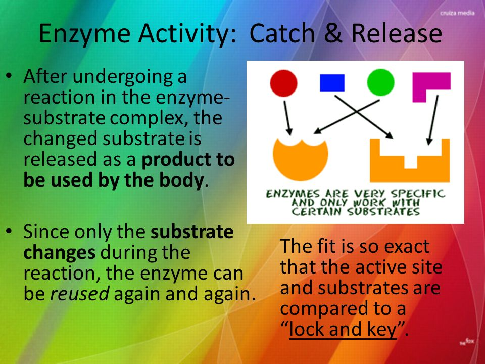 Enzyme Activity: Catch & Release After undergoing a reaction in the enzyme- substrate complex, the changed substrate is released as a product to be used by the body.