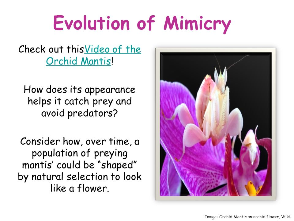 Evolution of Mimicry Check out thisVideo of the Orchid Mantis!Video of the Orchid Mantis How does its appearance helps it catch prey and avoid predators.