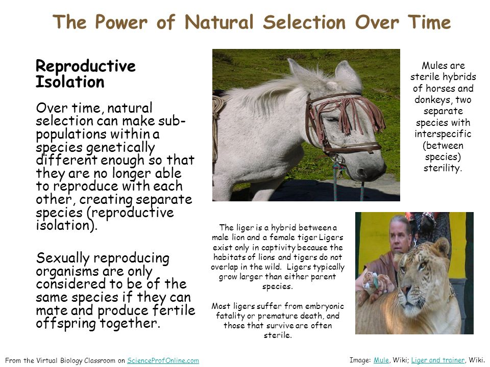 The Power of Natural Selection Over Time ​ From the Virtual Biology Classroom on ScienceProfOnline.comScienceProfOnline.com Reproductive Isolation Over time, natural selection can make sub- populations within a species genetically different enough so that they are no longer able to reproduce with each other, creating separate species (reproductive isolation).