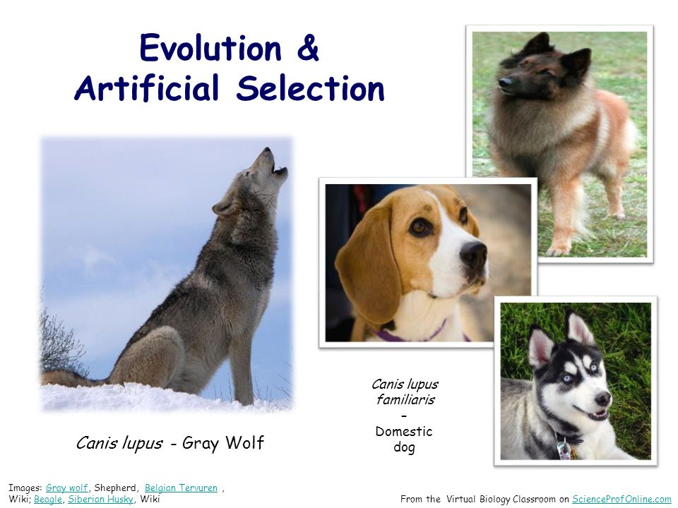 Evolution & Artificial Selection Canis lupus - Gray Wolf Canis lupus familiaris – Domestic dog Images: Gray wolf, Shepherd, Belgian Tervuren, Wiki; Beagle, Siberian Husky, WikiGray wolfBelgian TervurenBeagleSiberian Husky From the Virtual Biology Classroom on ScienceProfOnline.comScienceProfOnline.com