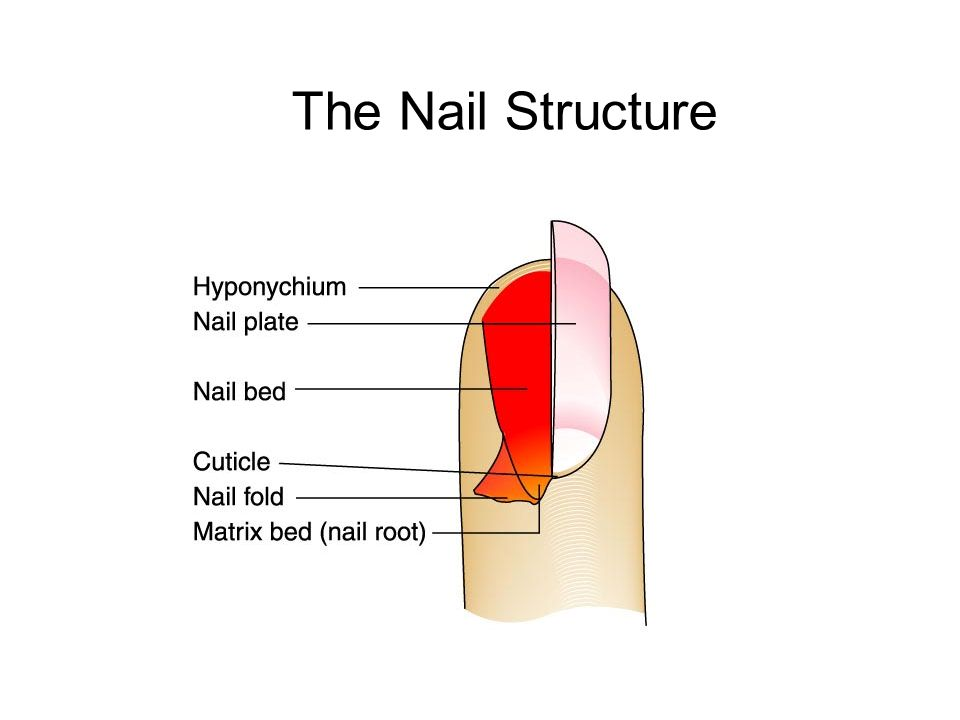 Nail Structure Diagram Auto Electrical Wiring Diagram