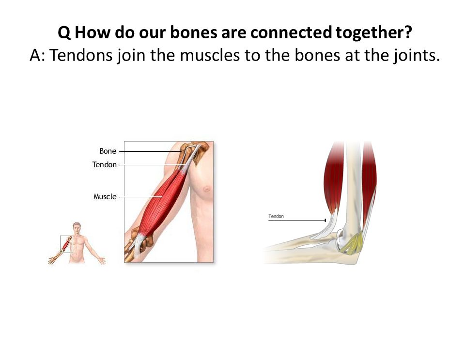 Skeletal System Q What Is A Skeleton A All Bones In Our Body Are