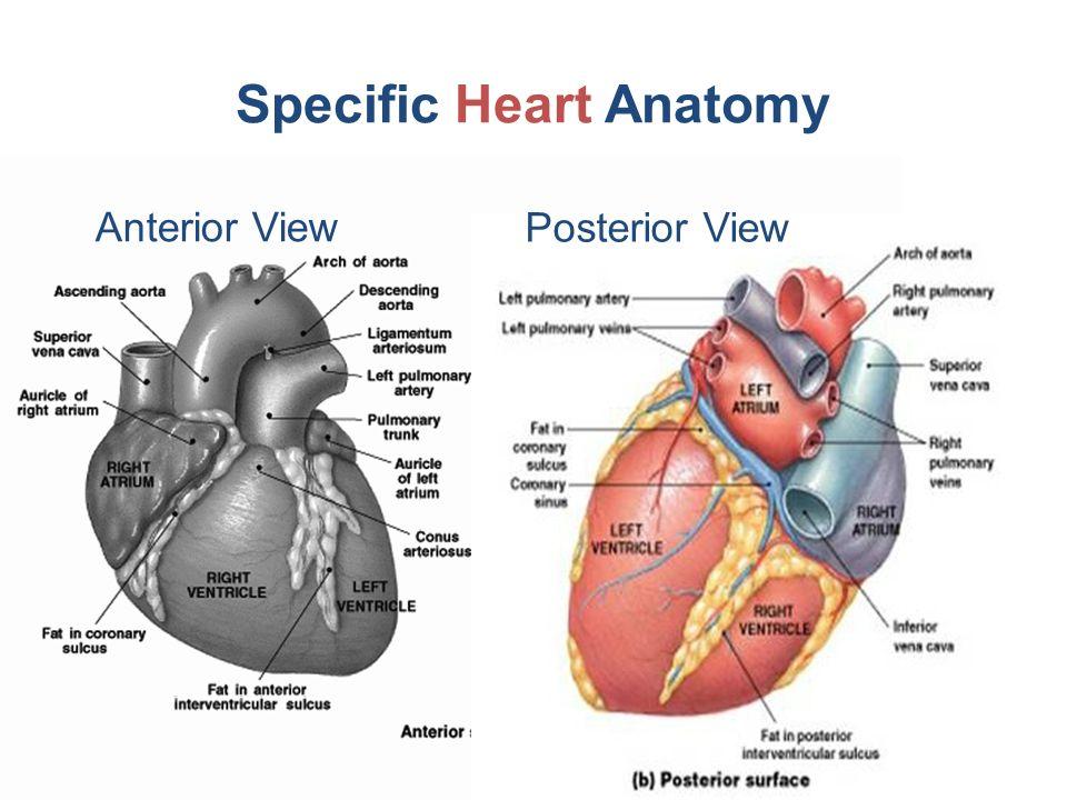 Chapter 18 The Heart Biol242 Heart Overview Heart Anatomy Cardiac