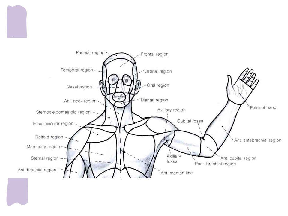 Axilla (the armpit) Prof. Dr. Selda Önderoğlu Department of Anatomy ...