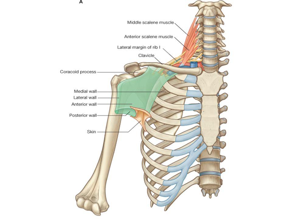Shoulder Region Bones Joints Muscles Vessels Nerves Ppt Download