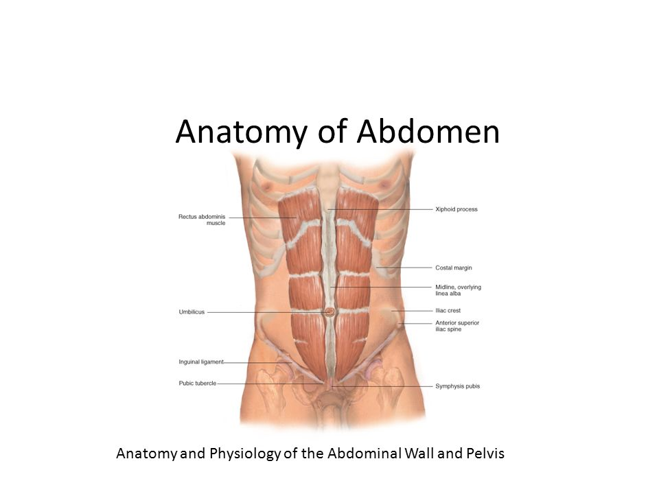 Chapter 10 The Abdomen Anatomy Of Abdomen Anatomy And Physiology