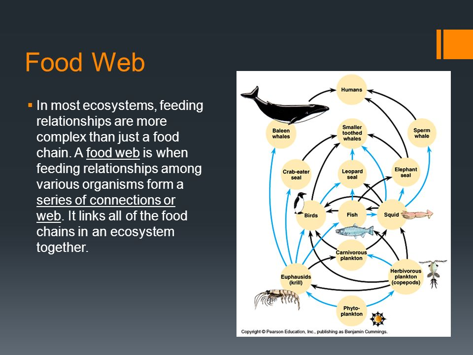 Food Web  In most ecosystems, feeding relationships are more complex than just a food chain.