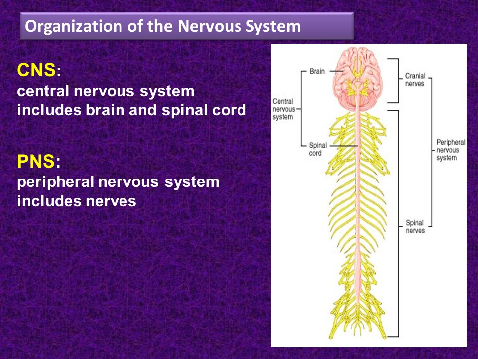 Human Body Nervous System Brain Diencephalon Spinal Cord Nerve