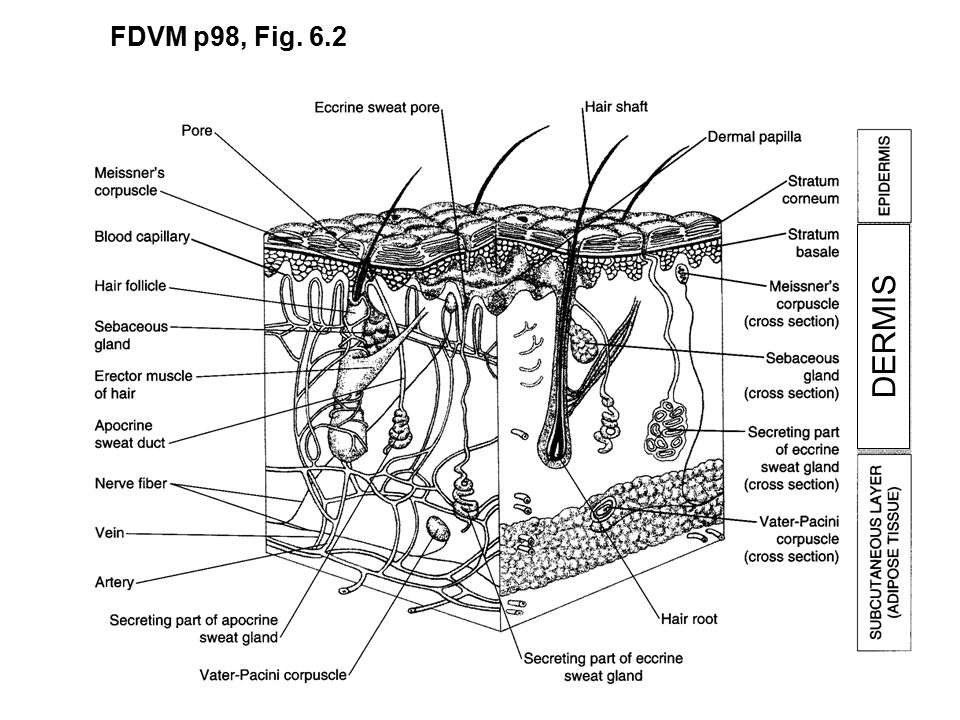 Biological Rhythms Skin Hair Glands Mammalogy Spring 2015