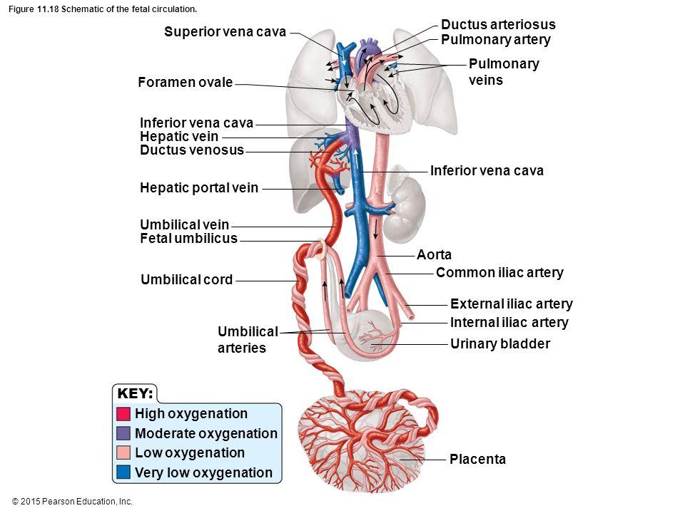 Portal Hepatic Corculation Schatic Diagram - Block And Schematic ...