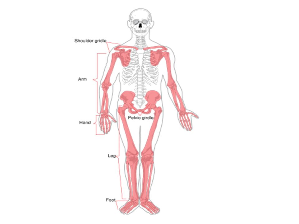 Appendicular Skeleton Ppt Download