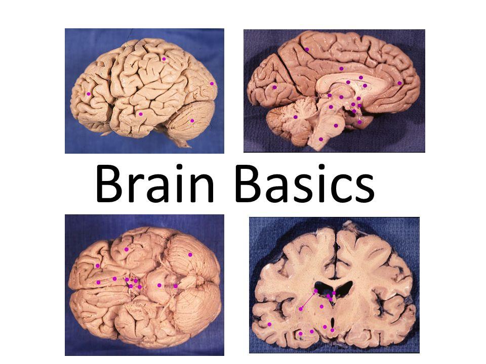 Nice Gross Brain Anatomy Ornament - Anatomy And Physiology Biology ...
