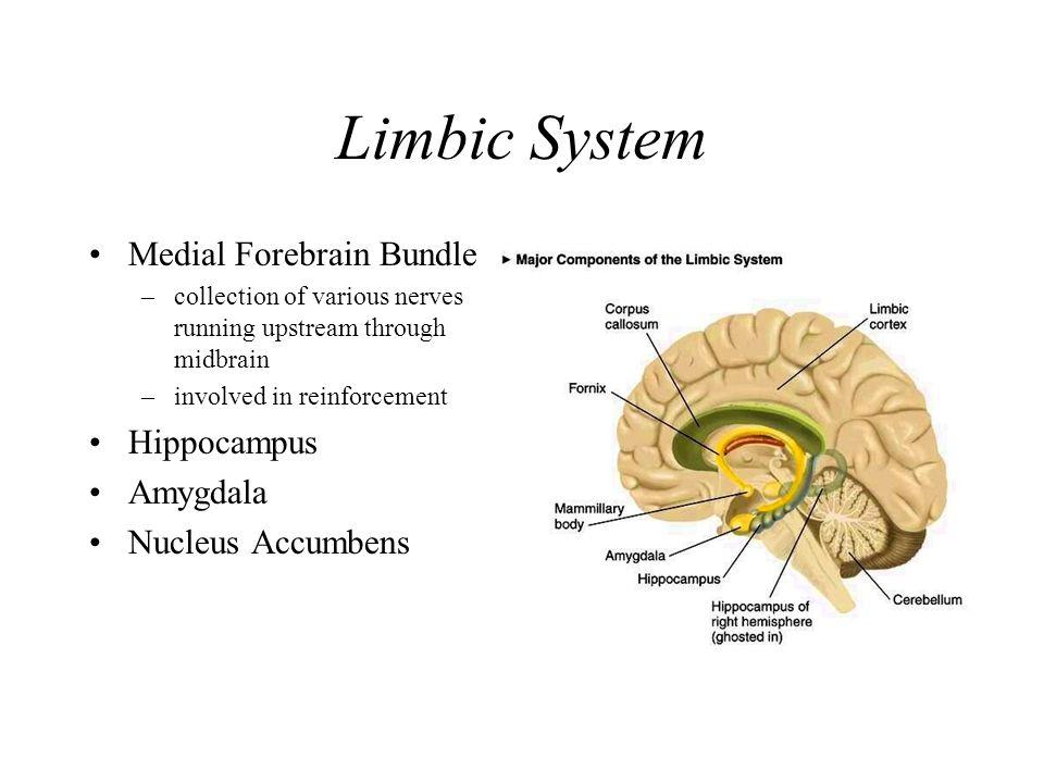 Brain Basics. Gross Brain Anatomy Forebrain Midbrain Hindbrain ...
