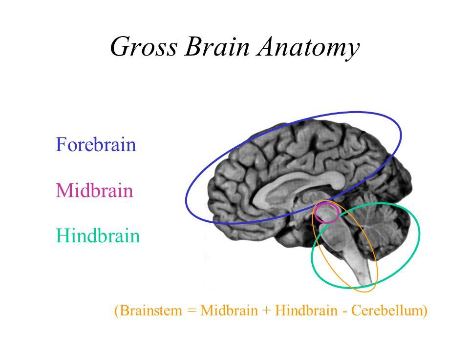 Brain Basics Gross Brain Anatomy Forebrain Midbrain Hindbrain