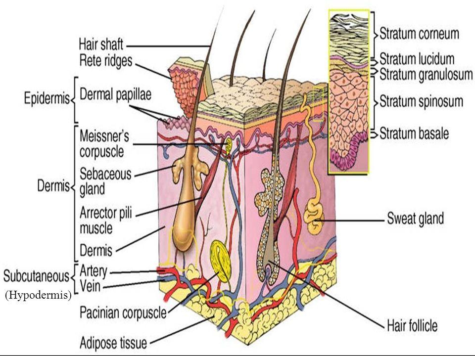 Integumentary System Hypodermis Integumentary System Skin