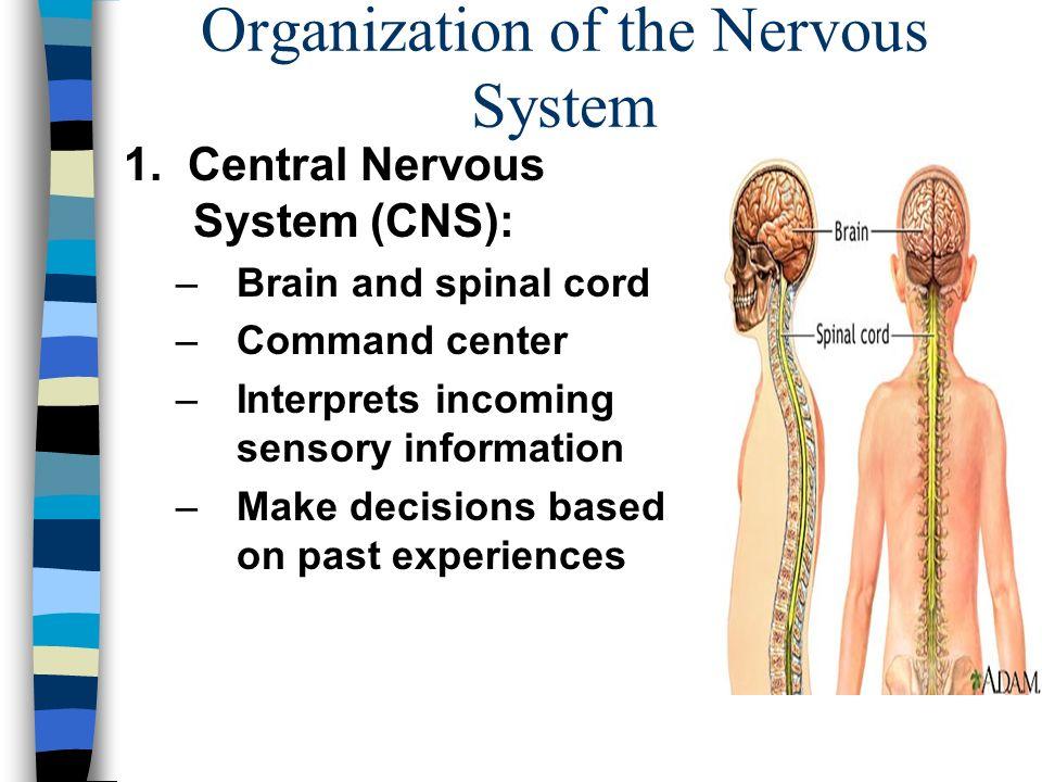 Organization of the Nervous System Anatomy & Physiology Mrs. Halkuff ...