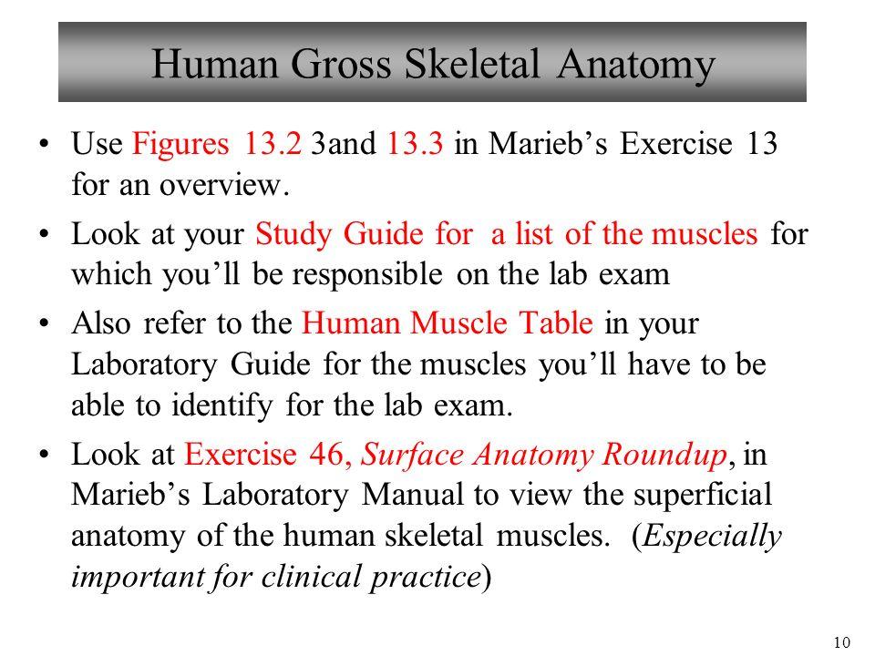 1 Bio 101 Laboratories 11 & 12 Muscle Histology Gross Human Skeletal ...