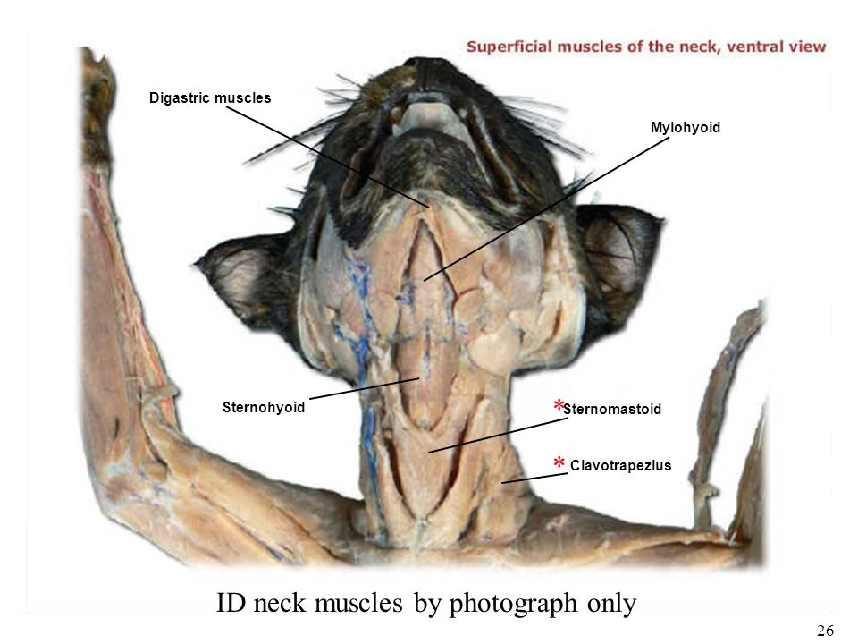 1 Bio 101 Laboratories 11 12 Muscle Histology Gross Human Skeletal