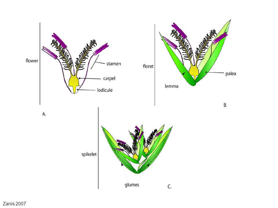 Overview -Overview of Grass flower morphology -Floral organ identity ...