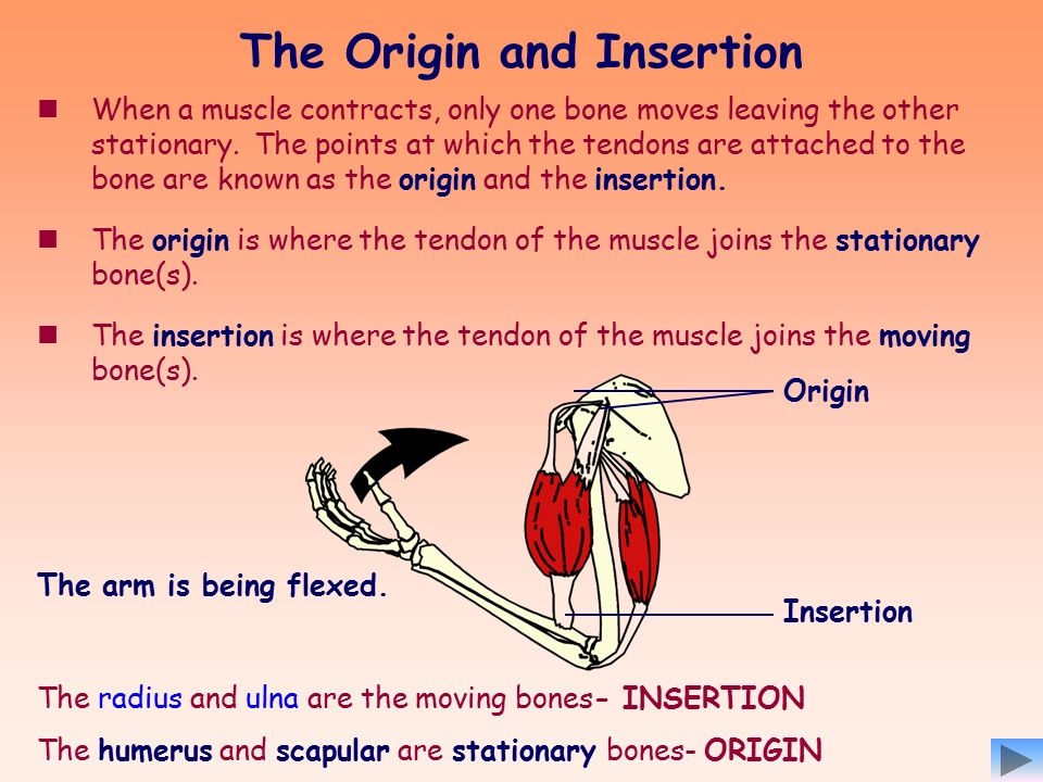MUSCLES AND MOVEMENT To know the meaning of origin and insertion of ...