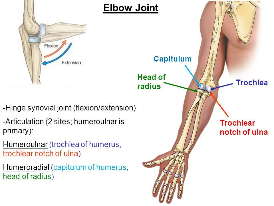 Upper Limb #3: Elbow Christopher Ramnanan, Ph.D. November 5 th ...