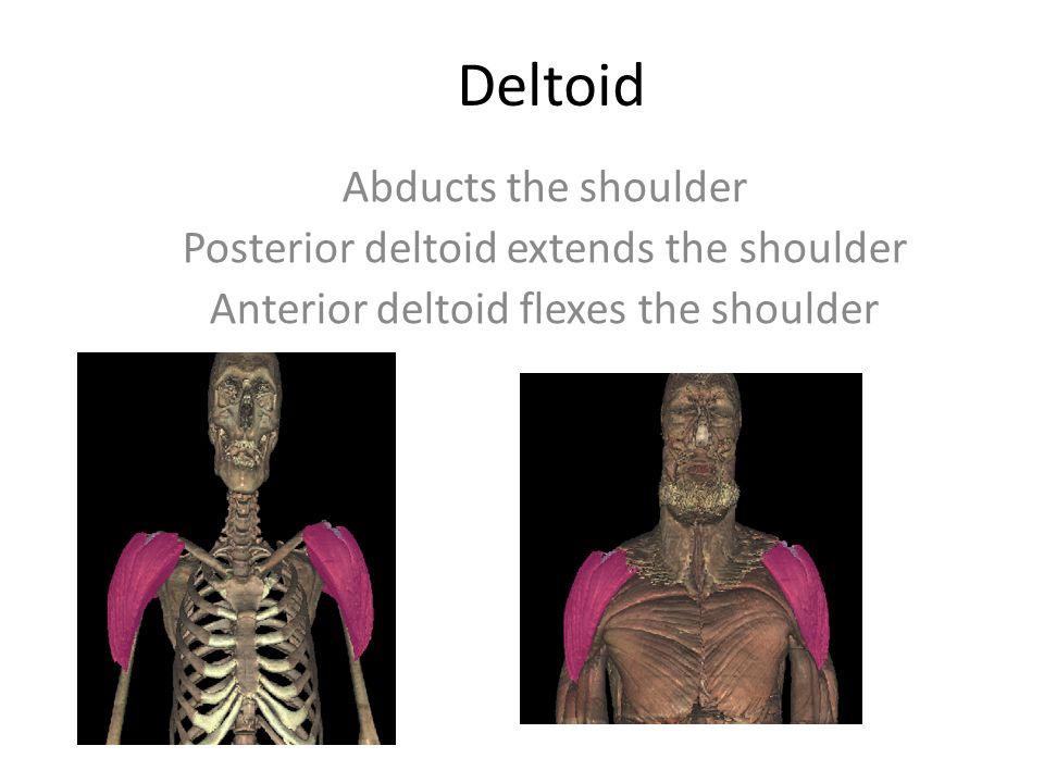 Deltoid Abducts The Shoulder Posterior Deltoid Extends The Shoulder