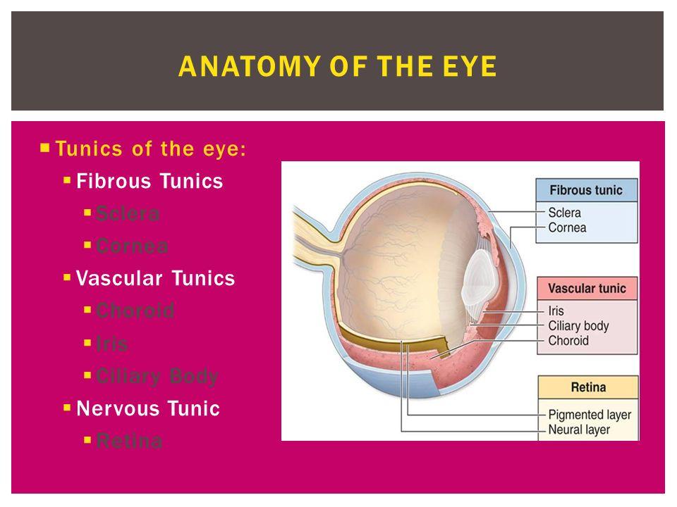 SENSES PART 2.  Tunics of the eye:  Fibrous Tunics  Sclera ...