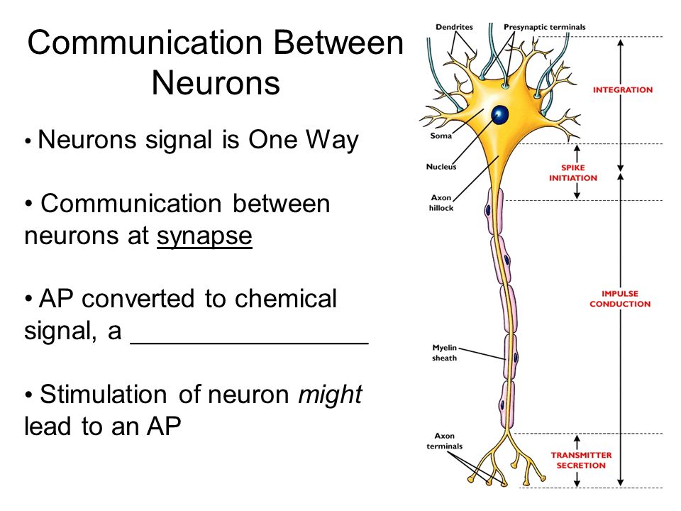 Neuron Synapses Iatomy Of The Synapse Iiemical Synapse Iii