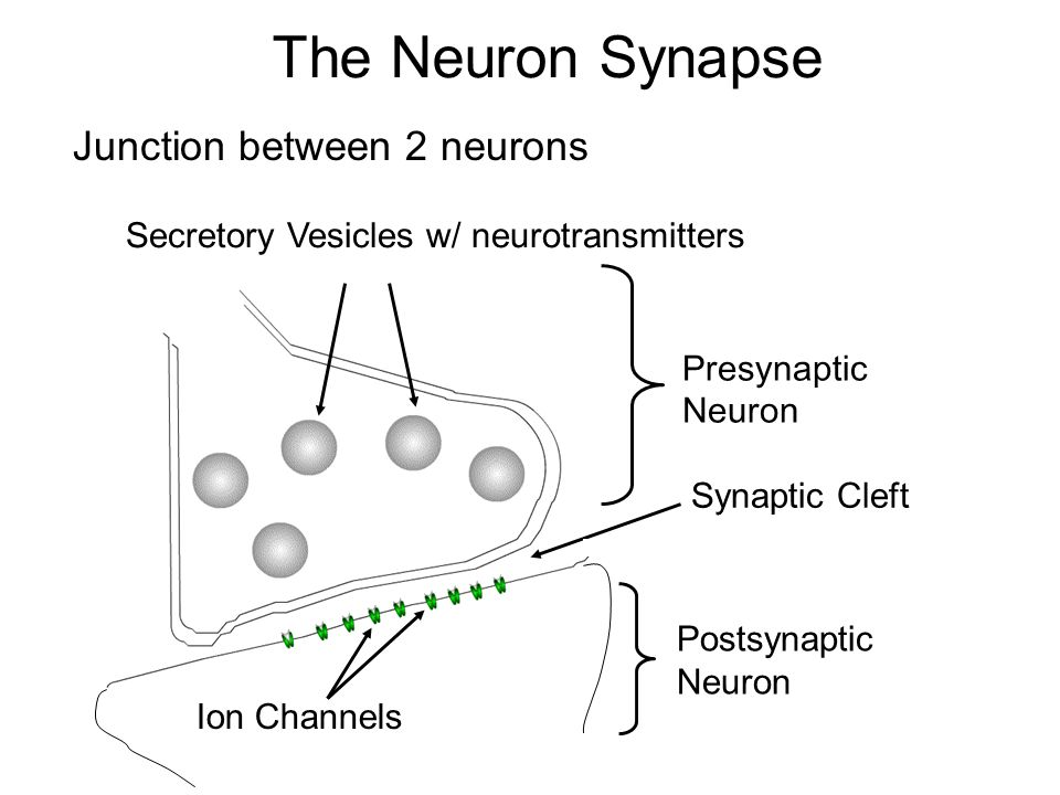 Neuron Synapses I.Anatomy of the Synapse II.Chemical Synapse III ...