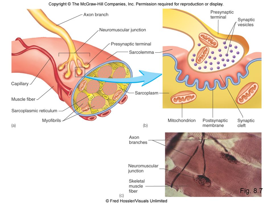 Labeled Neuromuscular Junction Diagram Neuromuscular Junction