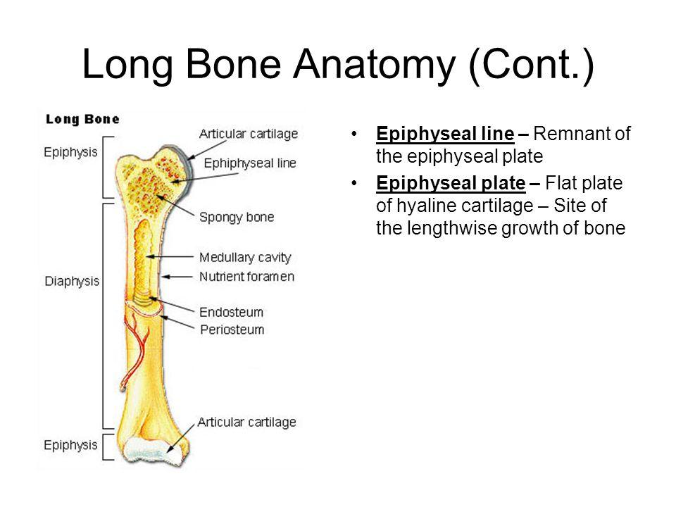 bone structure long bone anatomy diaphysis shaft composed of