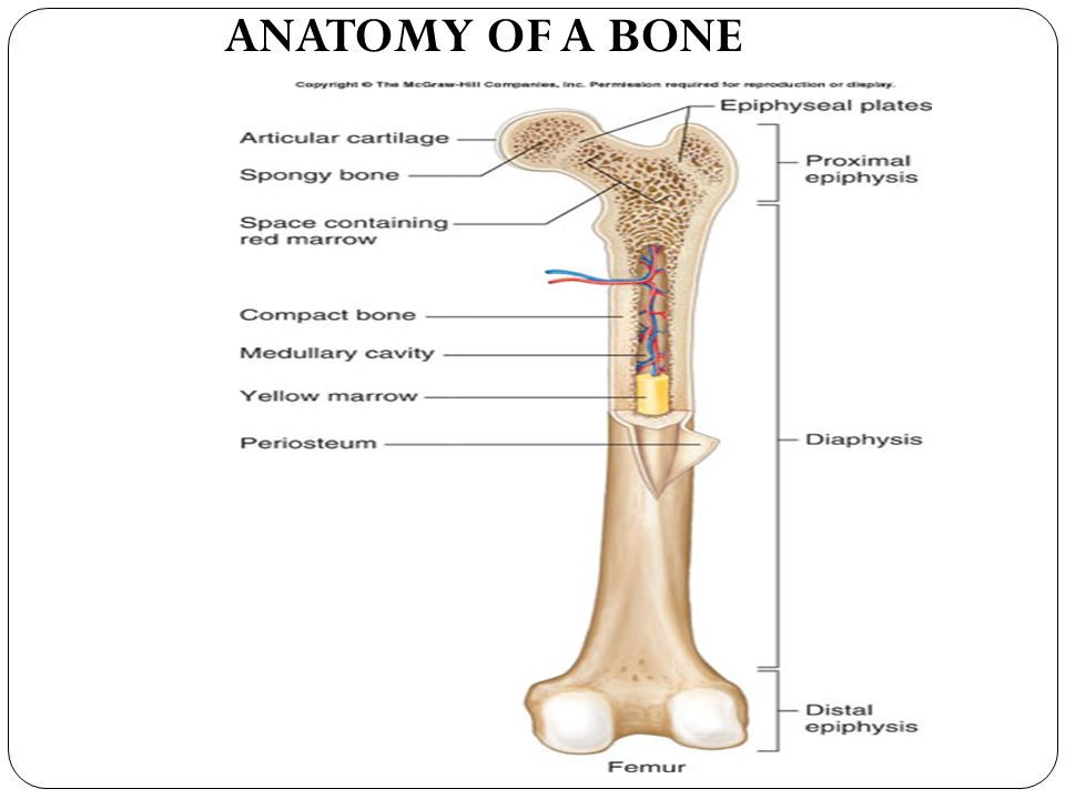 The Skeletal System Bone Anatomy I Bone Functions A Support B