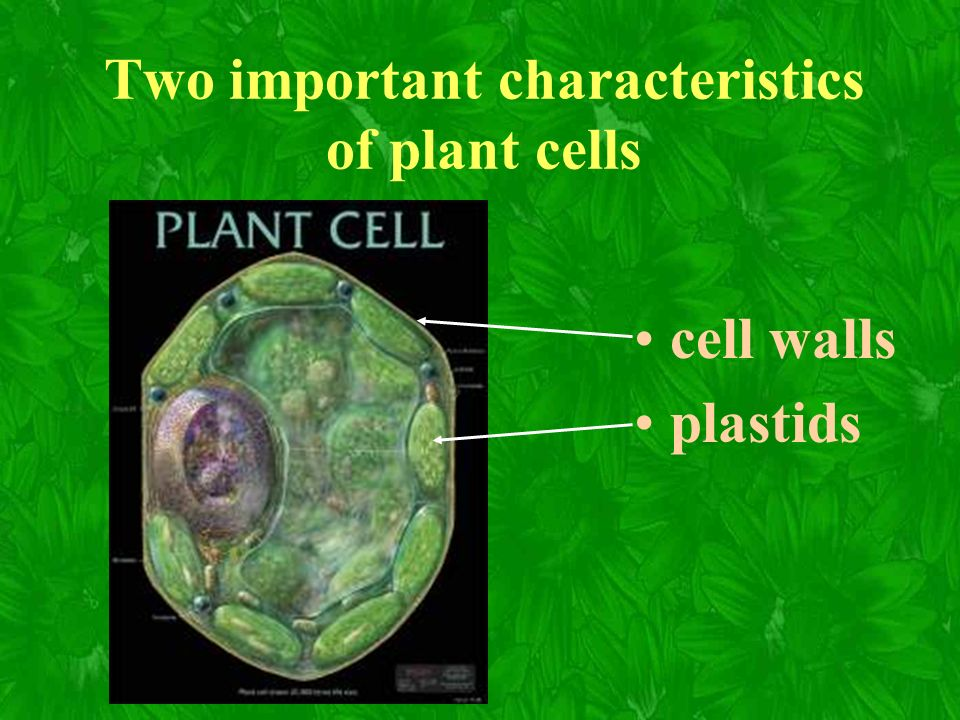 Plant Anatomy Quiz 12B. Two important characteristics of plant cells ...