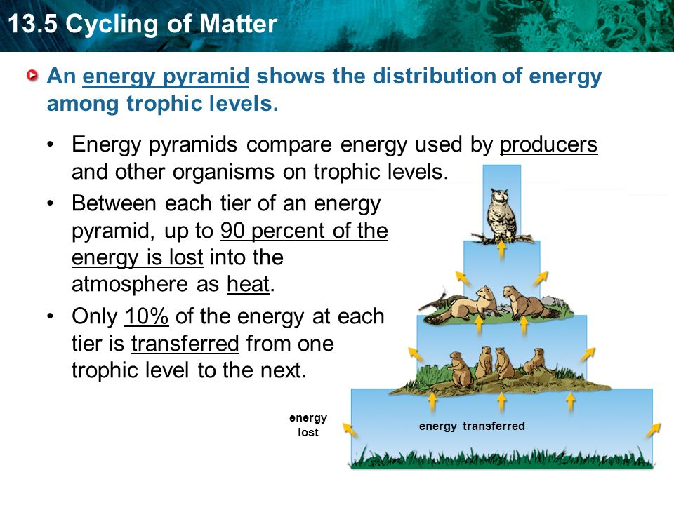13.5 Cycling of Matter energy transferred energy lost An energy pyramid shows the distribution of energy among trophic levels.