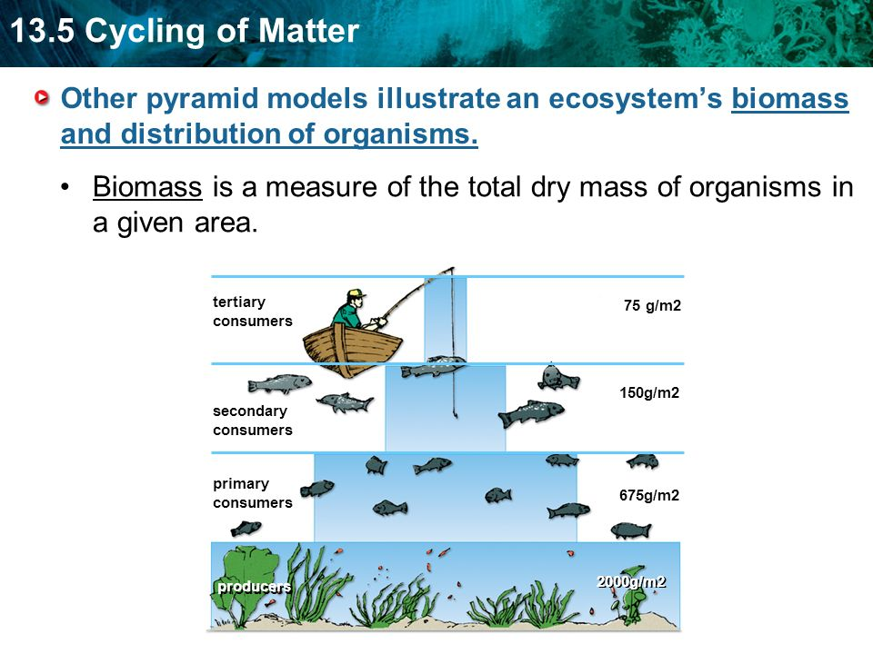 13.5 Cycling of Matter Other pyramid models illustrate an ecosystem's biomass and distribution of organisms.