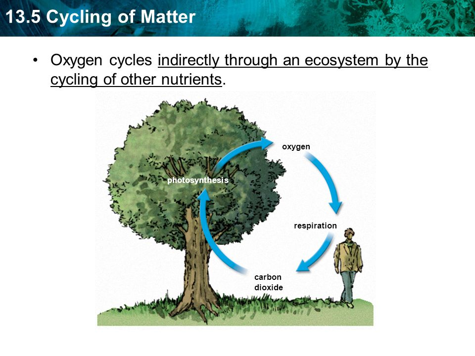 13.5 Cycling of Matter Oxygen cycles indirectly through an ecosystem by the cycling of other nutrients.