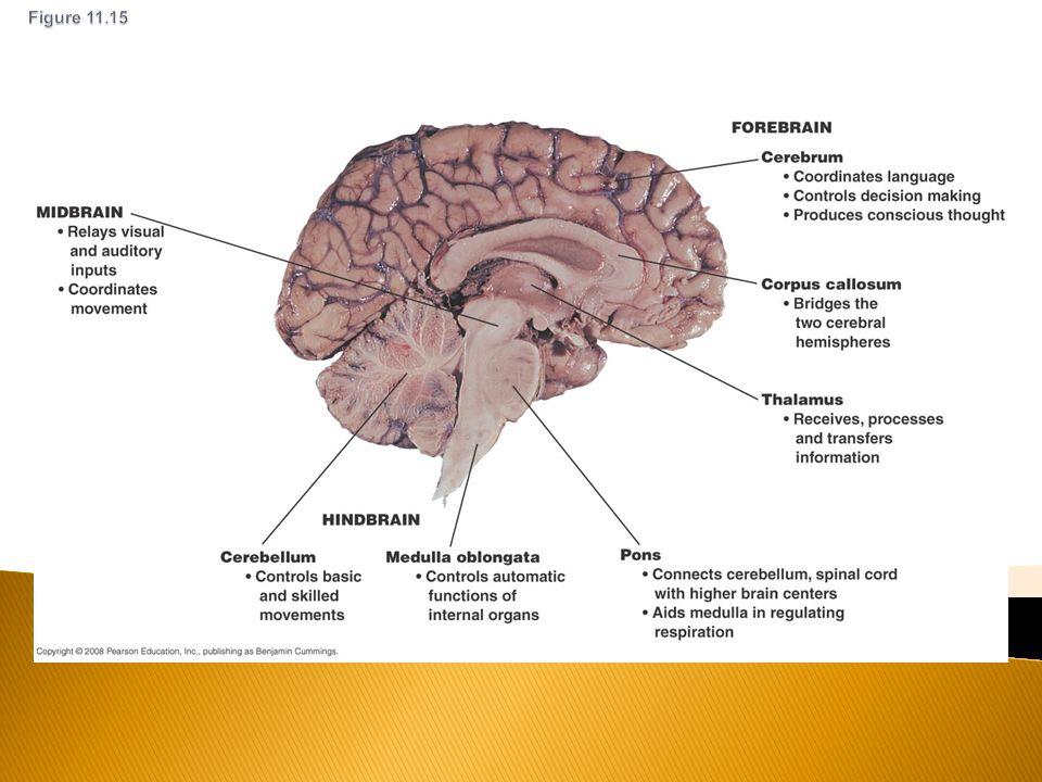 Division Internal Brain Diagram Auto Electrical Wiring Diagram