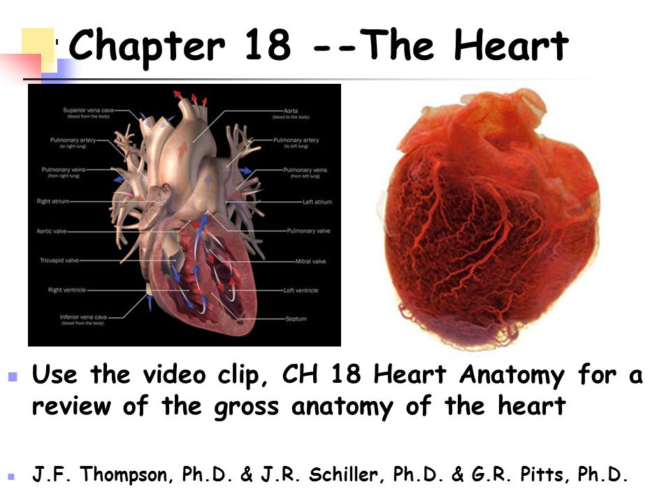Chapter 18 --The Heart Use the video clip, CH 18 Heart Anatomy for a ...