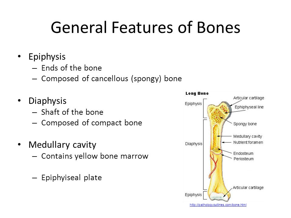 Bone Tissue Chapter 7 Objectives Know The Functions Of The Skeletal