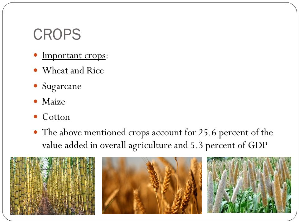 CROPS Important crops: Wheat and Rice Sugarcane Maize Cotton The above mentioned crops account for 25.6 percent of the value added in overall agriculture and 5.3 percent of GDP