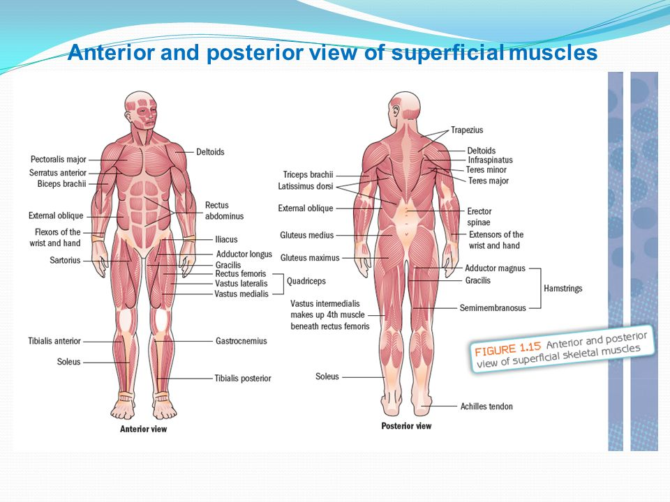 Muscles There Are Over 660 Skeletal Muscles In The Body Used To
