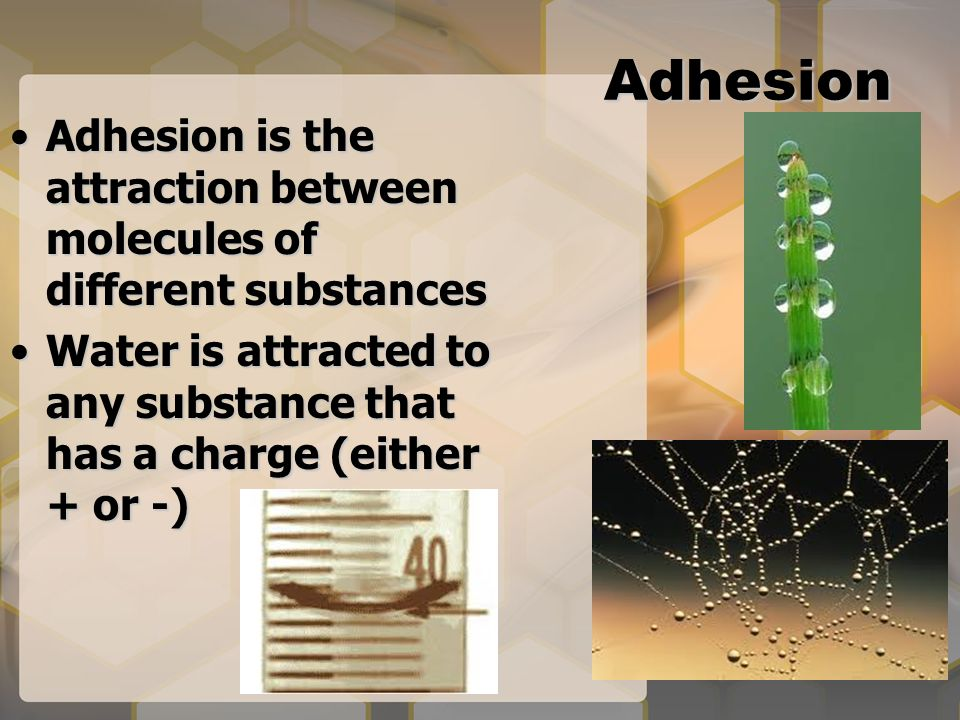 Adhesion Adhesion is the attraction between molecules of different substancesAdhesion is the attraction between molecules of different substances Water is attracted to any substance that has a charge (either + or -)Water is attracted to any substance that has a charge (either + or -)