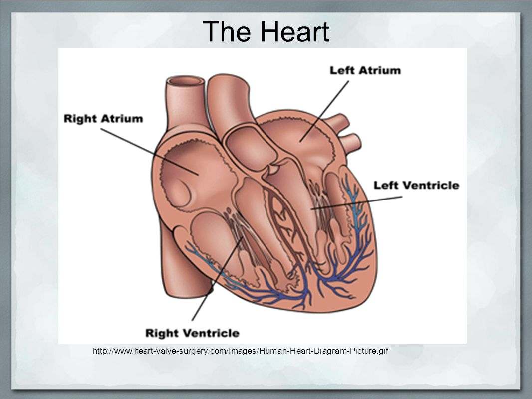 Circulatory system by allie hale eileen monagle and caroline kelly 2 the heart httpheart valve surgeryimageshuman heart diagram picturef ccuart Choice Image