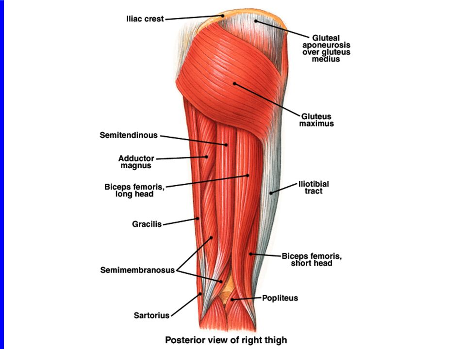 Thigh And Leg Muscles Posterior View Diagram - Block And Schematic ...