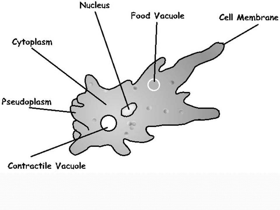 Groups of protists animal like protists plant like protists fungus 8 ccuart Gallery