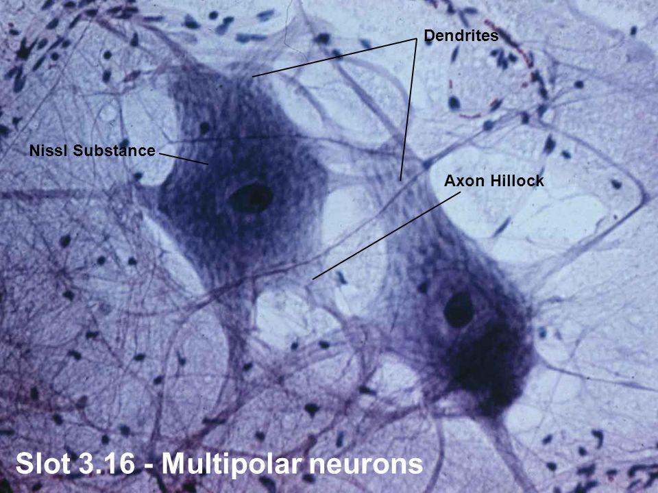 Slot Diagram Of Neuron Nissl Bodies Mitochondria Myelin Sheath Axon