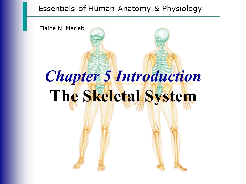 Essentials of Human Anatomy & Physiology Elaine N. Marieb Chapter 5 ...